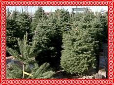 christmastreesgrx